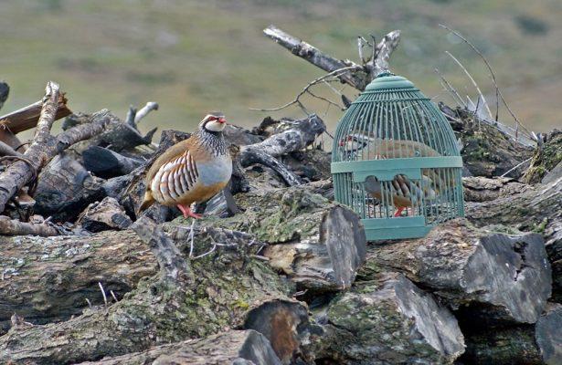 caza de perdiz roja con reclamo